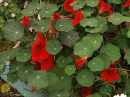Чудесный цветок «Настурция»!