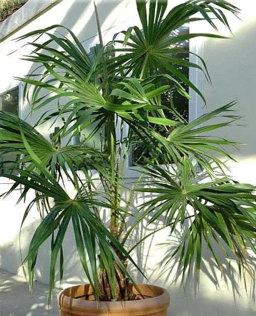 Энергетика Финиковой пальмы