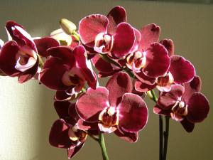 Орхидея фаленопсис энергетика.