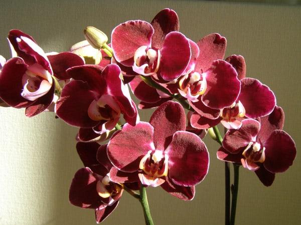 Энергетика Орхидея фаленопсис