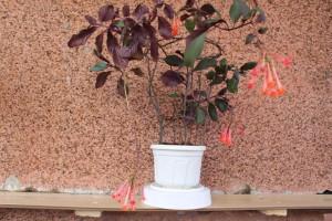 Фуксия - комнатный цветок