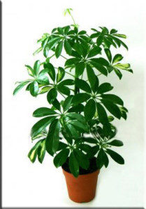 schefflera_index