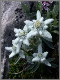Цветочный гороскоп: Эдельвейс