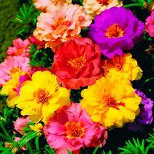 Цветочный гороскоп: Портулак