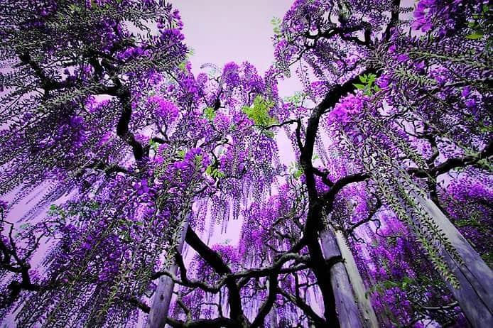 Сад цветов Кавати Фудзи (Япония)