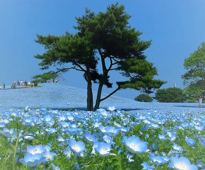 Парк Хитачи Сисайд (Hitachi Seaside Park в Японии)