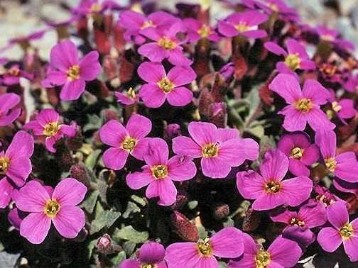 Обриета или Аубреция (Aubrieta) - многолетний садовый цветок
