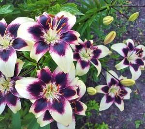 низкорослые сорта лилии фото