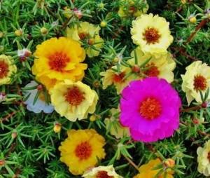 Портулак или Дандур (Portúlaca) - огородный и крупноцветковый