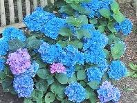 Гортензия (Hydrángea) - садовая, черешковая, древовидная, метельчатая