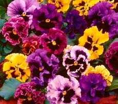 Фиалка садовая, Виола или Анютины глазки (Viola)