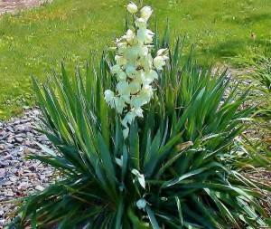 Юкка (Yucca) - садовые виды растущие в России