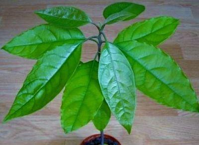 Авокадо или Персея (Аллигаторова груша)