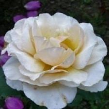 Роза Адриана (Adriana)