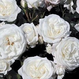 Роза Алабастер (Alabaster)