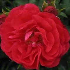 Роза Руж Мейлав (Rouge Meilove)
