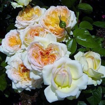 Роза Альфонс Даудет (Alphonse Daudet)