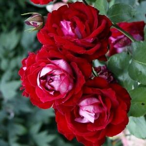 Роза Аллилуйя (Allelyia)