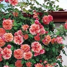 Роза Алоха или Korwesrug (Aloha)