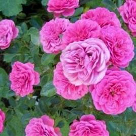Роза Амулетт (Amulett)
