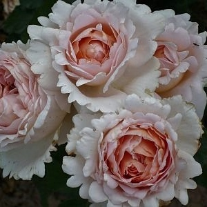 Роза Андре Ле Нотре (Andre Le Notre)