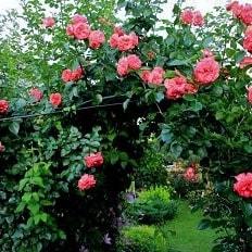 Роза Антик — 89 (Antike 89)