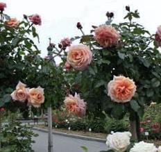 Роза Барок (Barock)