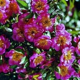 Роза Беби Блумер (Baby Bloomer)