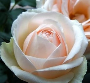 Роза Белами Кордана (Belami Kordanа)