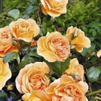 Роза Бернштейн роуз (Bernstein Rose)