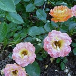 Роза Бесси (Bessy)