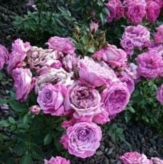 Роза Блусетте (Bluesette)
