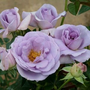 Роза Блю Бажу (Blue Bajou)