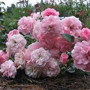 Роза Боника — 82 (Bonica 82)