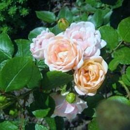 Роза Бордюр Накри (Bordure Nacre)