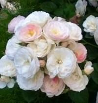 Роза Буке Парфе (Bouquet Parfait)