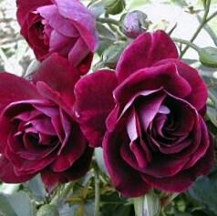 Роза Бургунди Айс (Burgundy Ice)