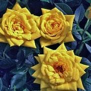 Роза Голд джувел (Goldjuwel)