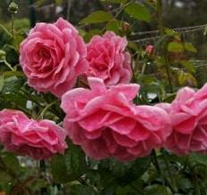 Роза Камелот (Camelot)