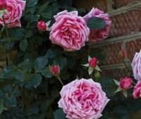Роза Корал Доун (Coral Dawn)