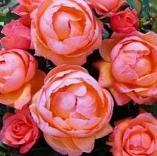 Роза Леди Мармелейд (Lady Marmolade)