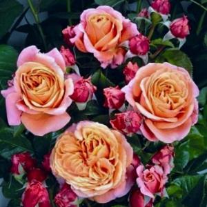 Роза Мэри Энн (Mary Ann)