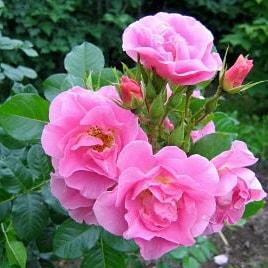 Роза Пинк Робуста (Pink Robusta)