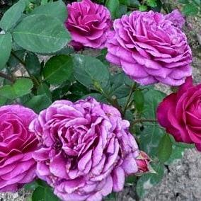 Роза Перпл Рейн (Purple Rain)
