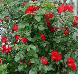 Роза Робуста (Robusta)