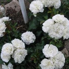Роза Вайт Мейдиланд (White Meidiland)