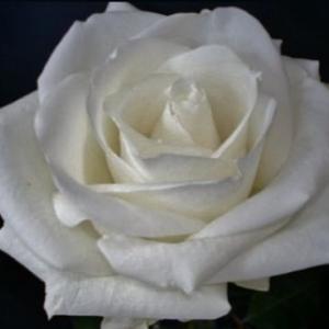 Роза Адванс (Advance)