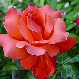 Роза Аве Мария (Ave Maria)