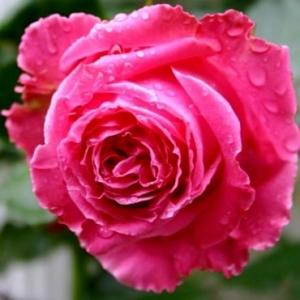 Роза Августа Ренуа (Auguste Renoi)