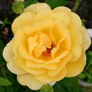 Роза Бенита (Benita)